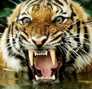 Crisi il proprietario di uno zoo minaccia apro le for Disegni delle tigri
